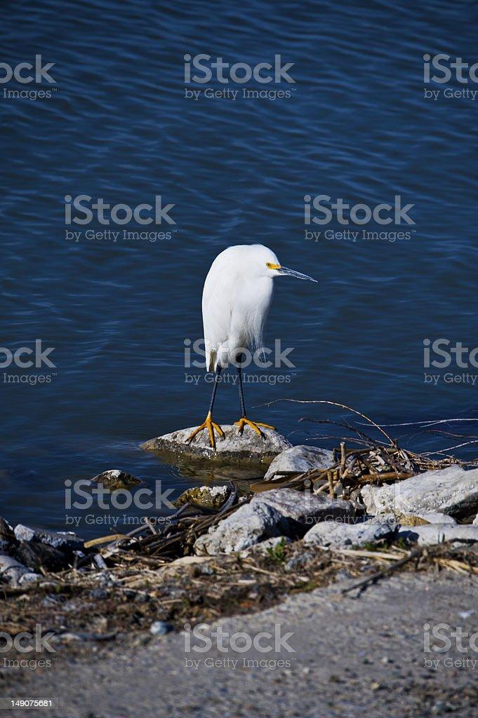 Snowy Egret royalty-free stock photo