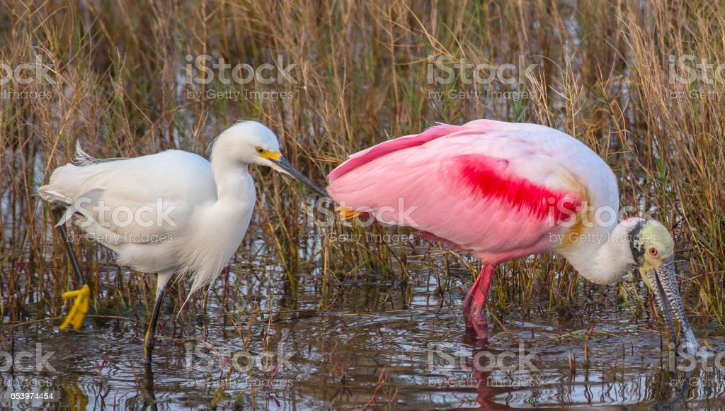 Snowy Egret Poking Roseate Spoonbill stock photo