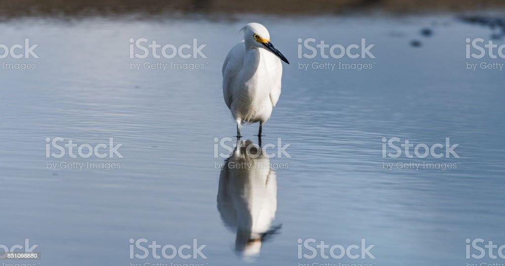 Snowy Egret Reflections stock photo