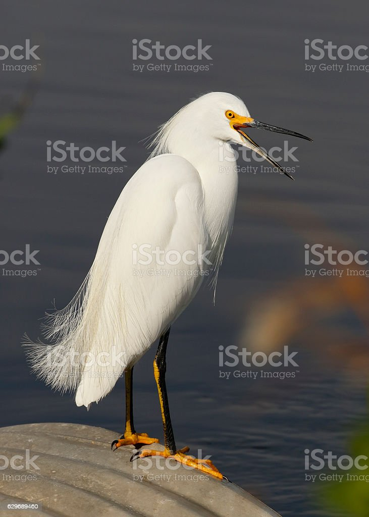 Snowy Egret sitting on a culvert yawning - Florida stock photo
