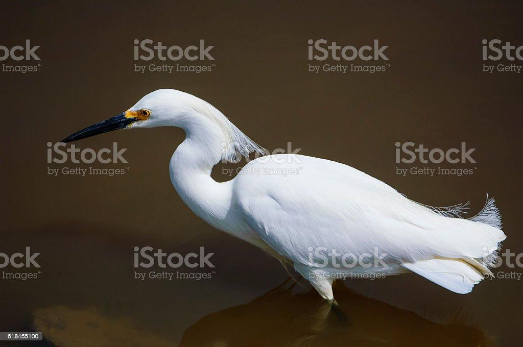 Snowy Egret Standing in Ocean Water stock photo