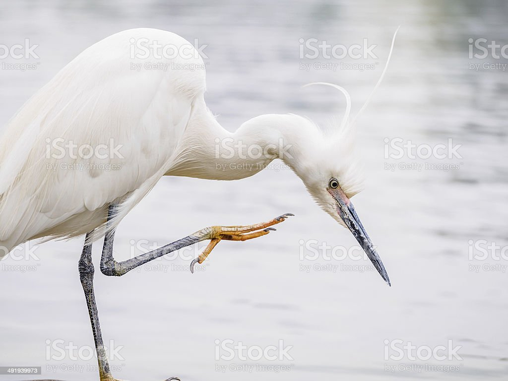 Snowy Egret (Egretta thula) Standing on rocks in the water stock photo