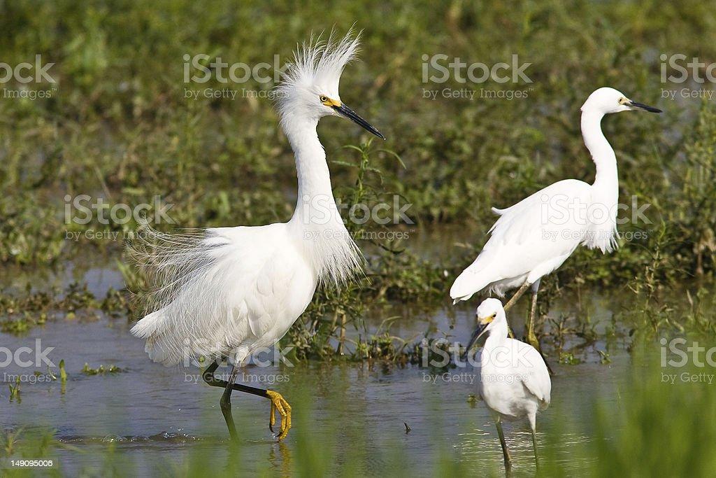 Snowy egret strutting royalty-free stock photo