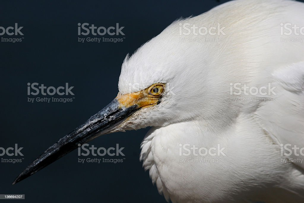 Snowy Egret up close royalty-free stock photo