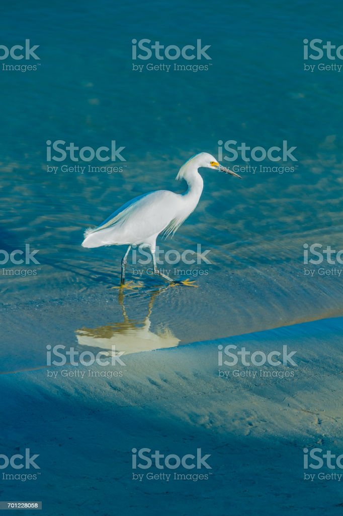 Snowy Egret wades in shallow water at Newport Beach (P) stock photo