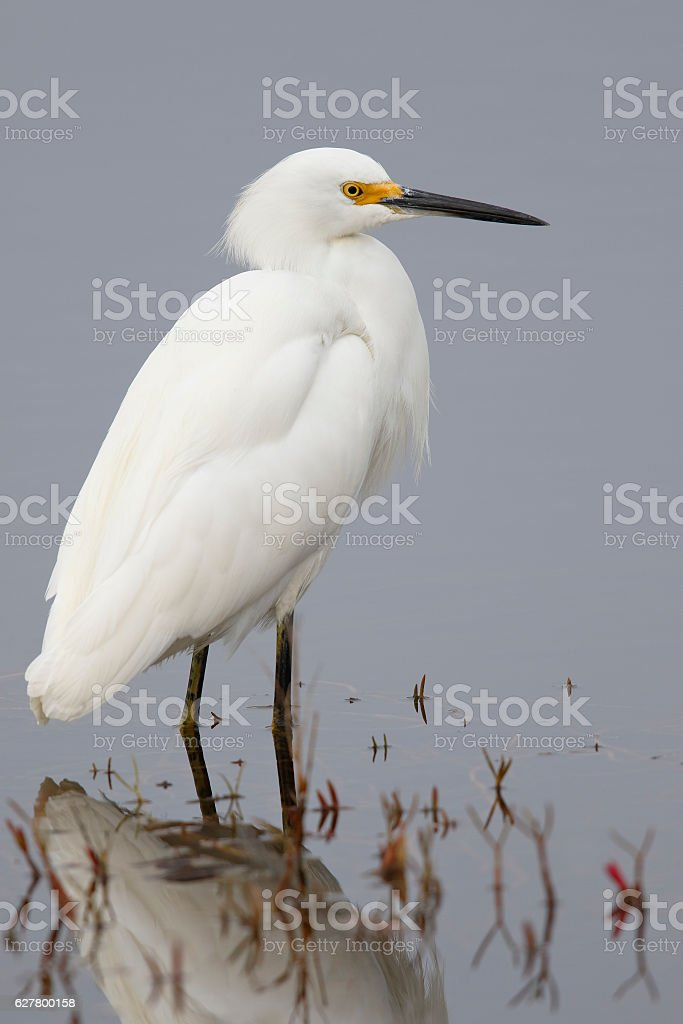 Snowy Egret wading in a shallow marsh - Florida stock photo