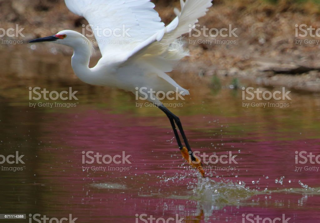 Snowy Egret with Blooming Trees Reflection stock photo