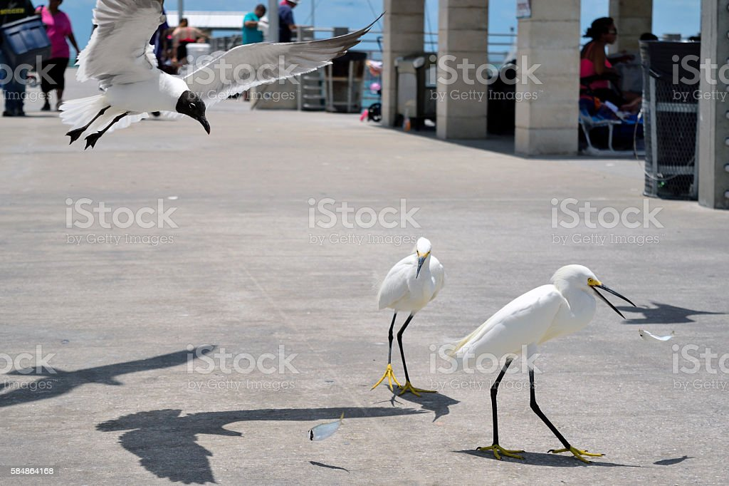 Snowy Egrets eating fish on pier. stock photo