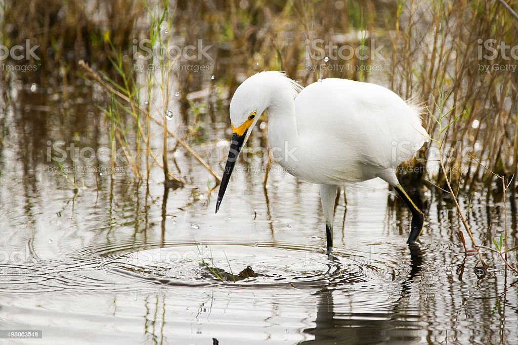 Snowy Egrets Hunting stock photo