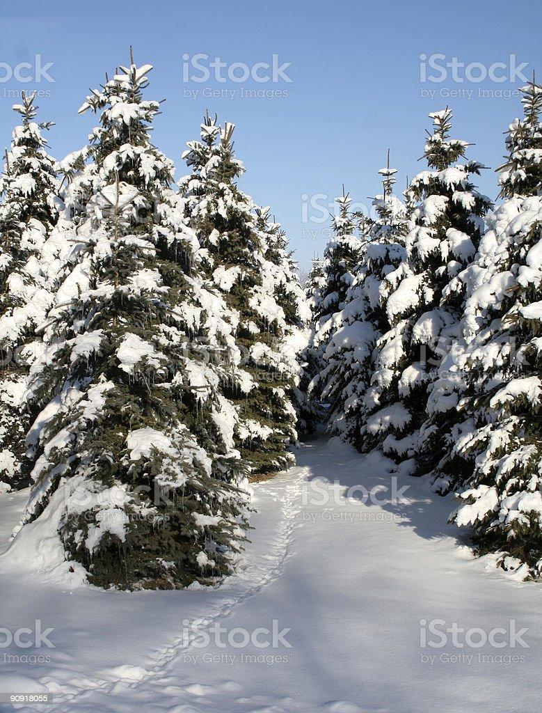 Snowy Evergreen Path royalty-free stock photo