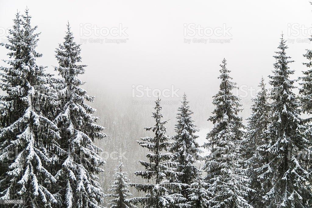 Snowy fir trees next to Voineas resort, Romania stock photo