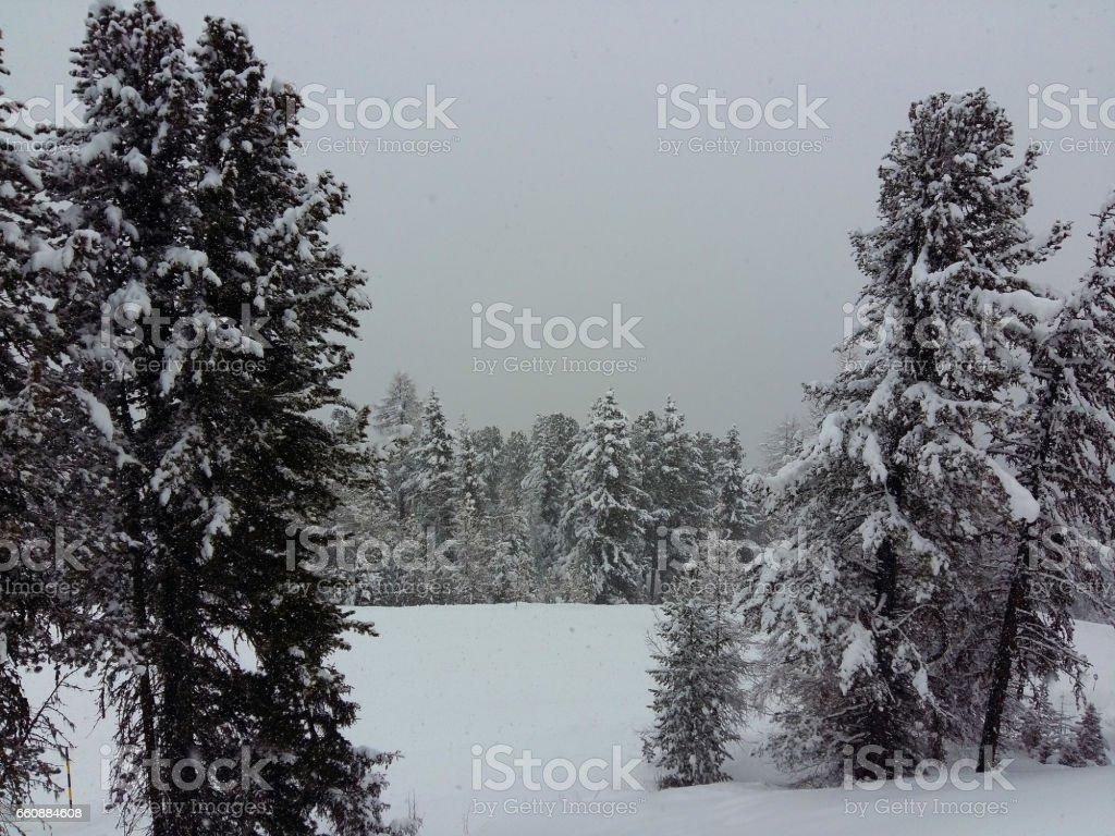 snowy fir trees stock photo