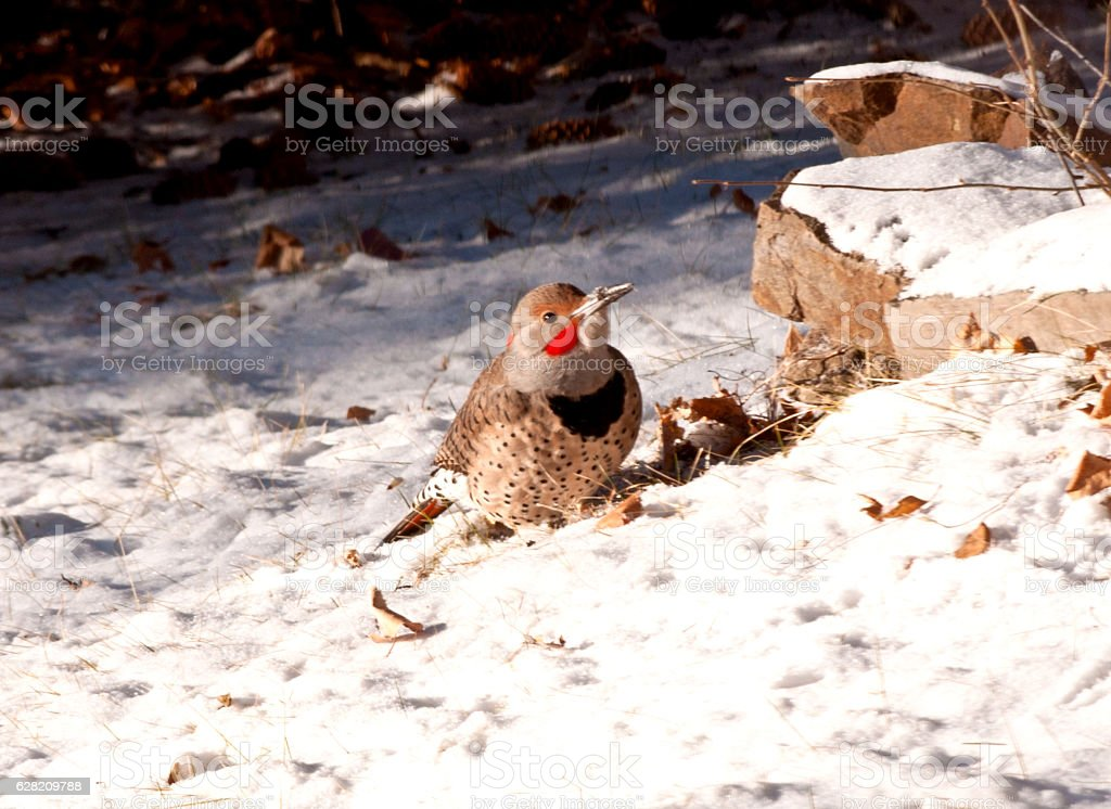 Snowy Flicker Bird stock photo