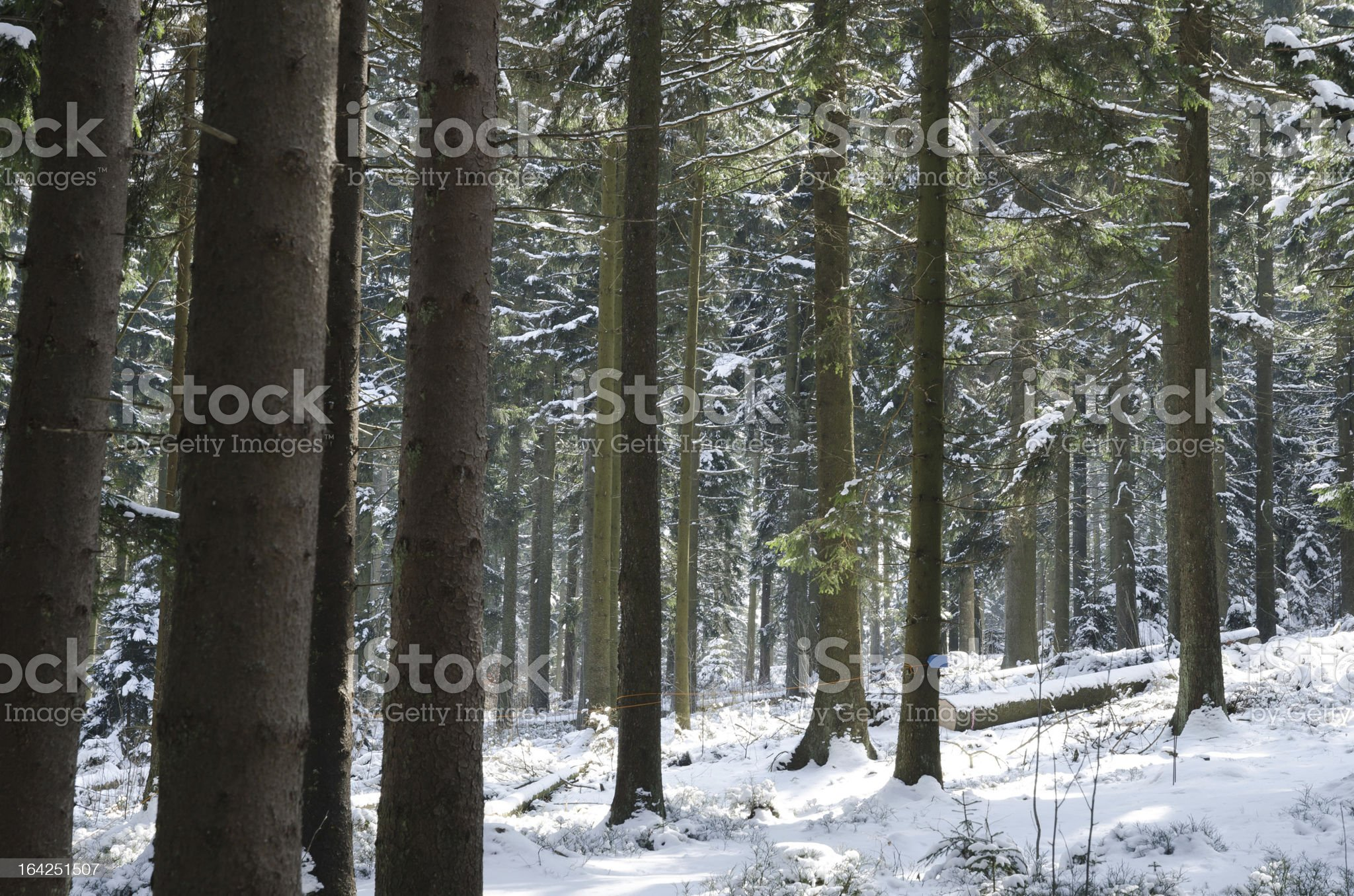 Snowy forest in Winter royalty-free stock photo