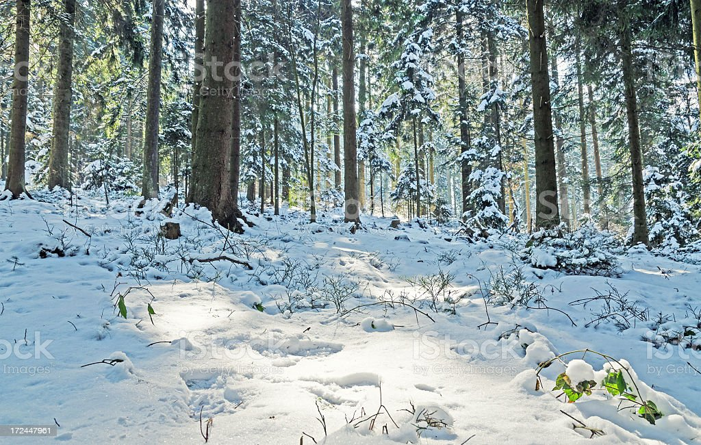 Snowy forest in Winter stock photo
