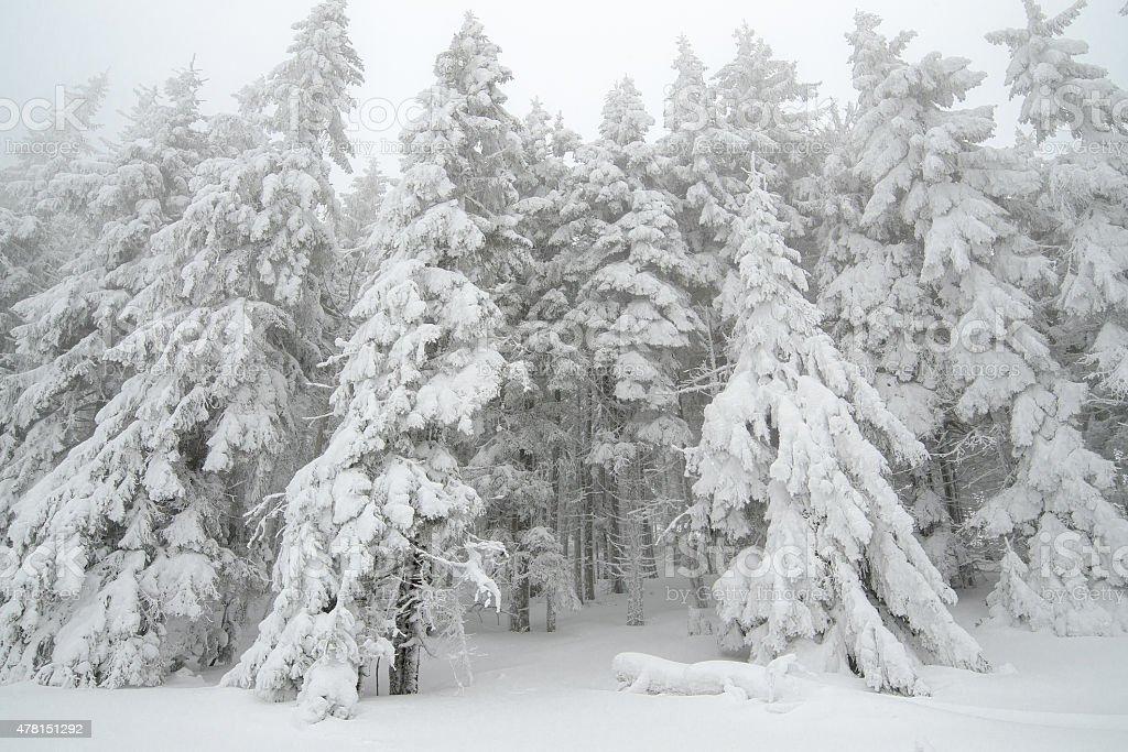 Forêt enneigée photo libre de droits