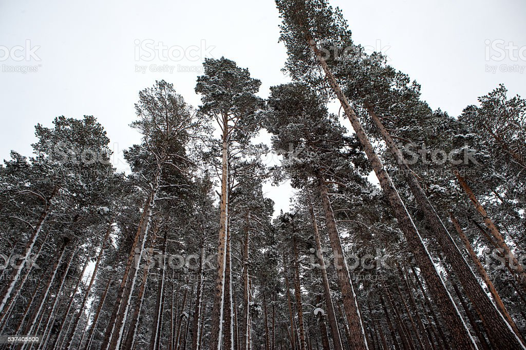 Snowy Forest stock photo