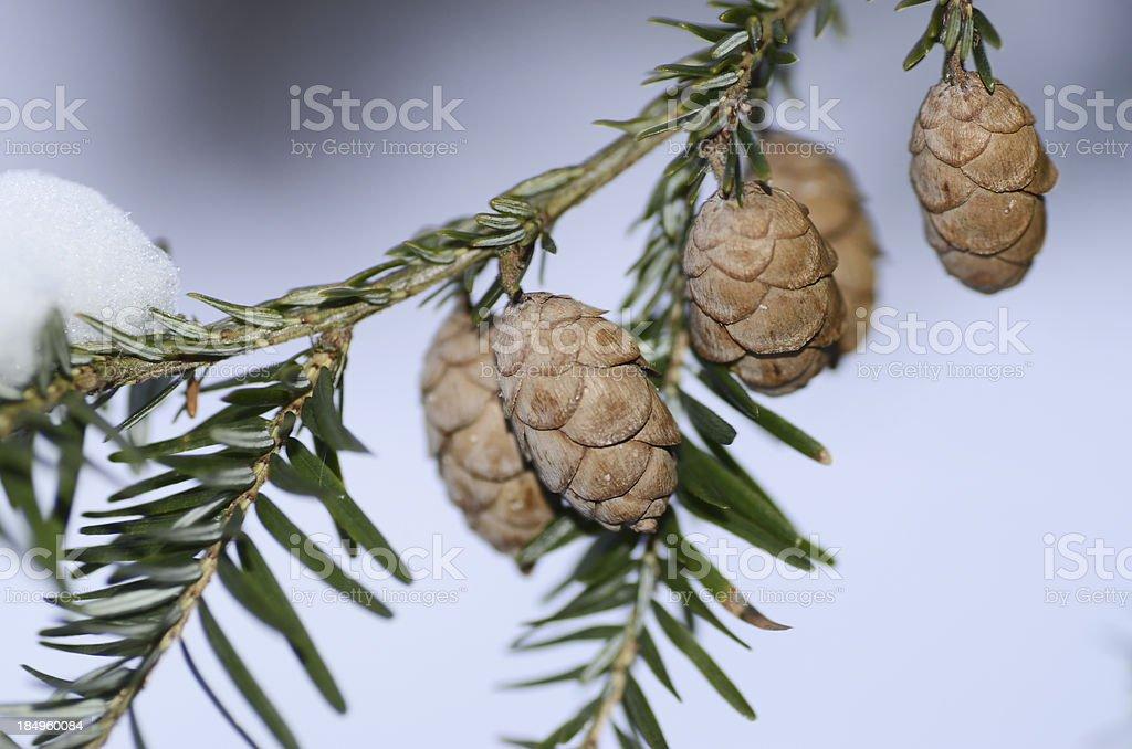 Snowy Hemlock stock photo