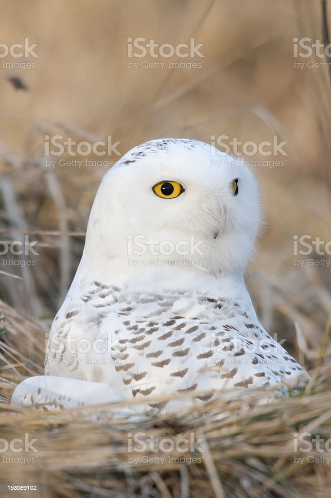 Snowy in the grass royalty-free stock photo