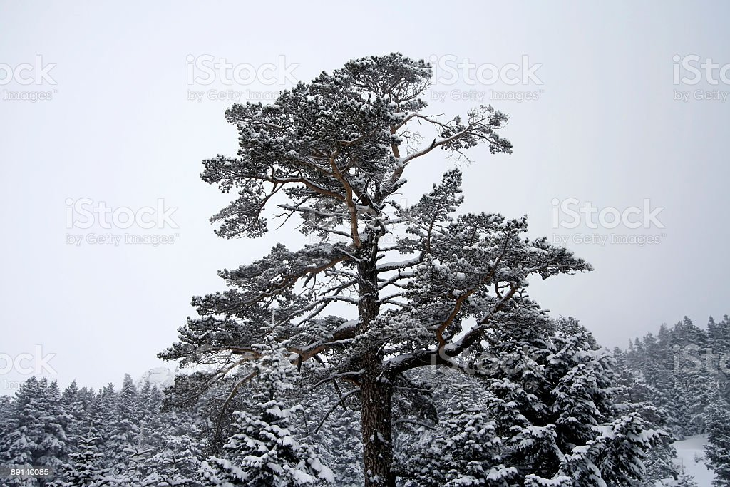 snowy lonely tree royalty-free stock photo