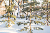 Snowy Minnesota Winter - Pine Trees in the Woods