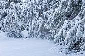 Snowy Minnesota Winter - Snow Covered Pine Trees