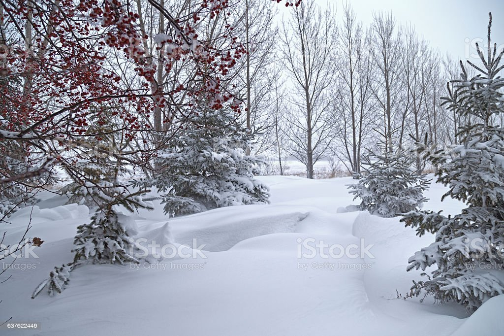 Snowy Minnesota Winter - Trees and Snowdrifts stock photo