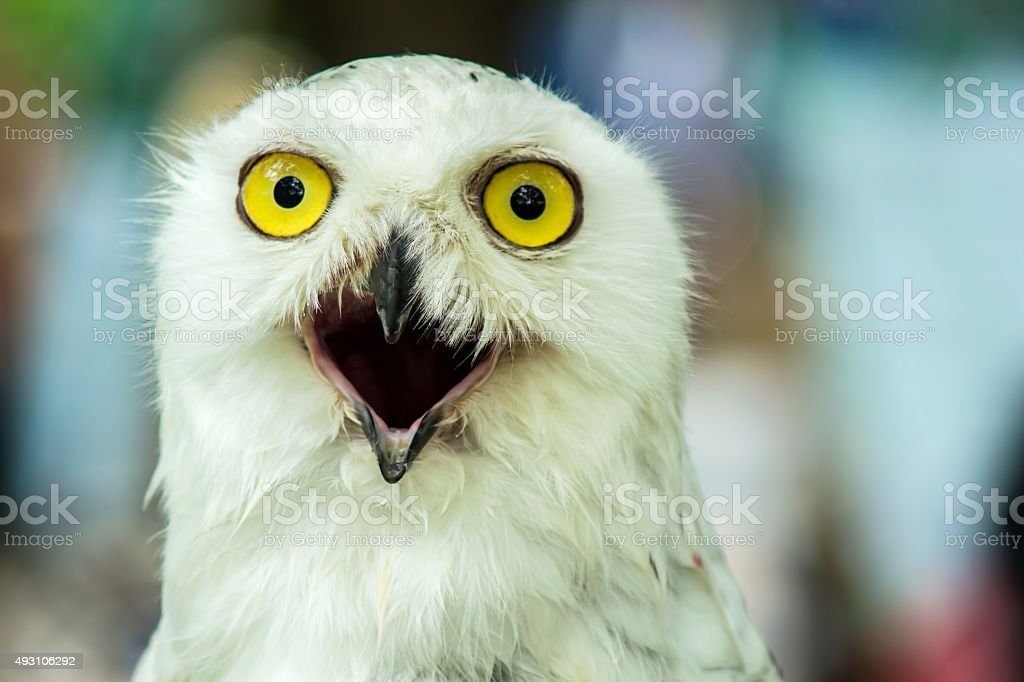 Snowy Owl (Bubo Scandiaca) A cute look stock photo