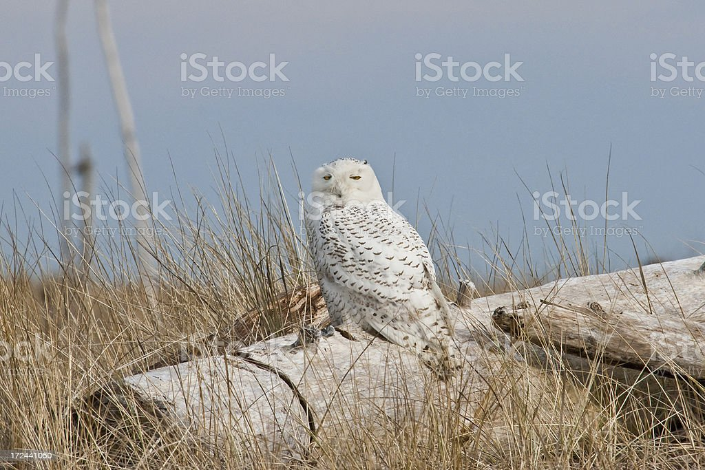 Snowy Owl at the Pacific Ocean royalty-free stock photo
