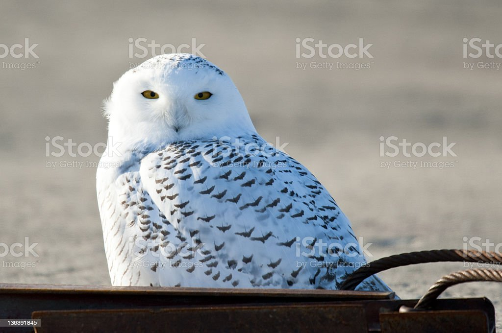 Snowy Owl Behind Steel royalty-free stock photo