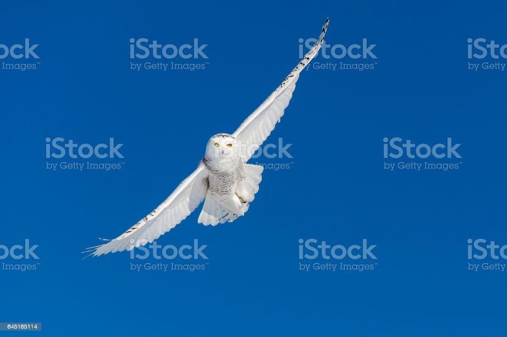 Snowy Owl, bubo scandiacus, bird in flight, blue sky stock photo