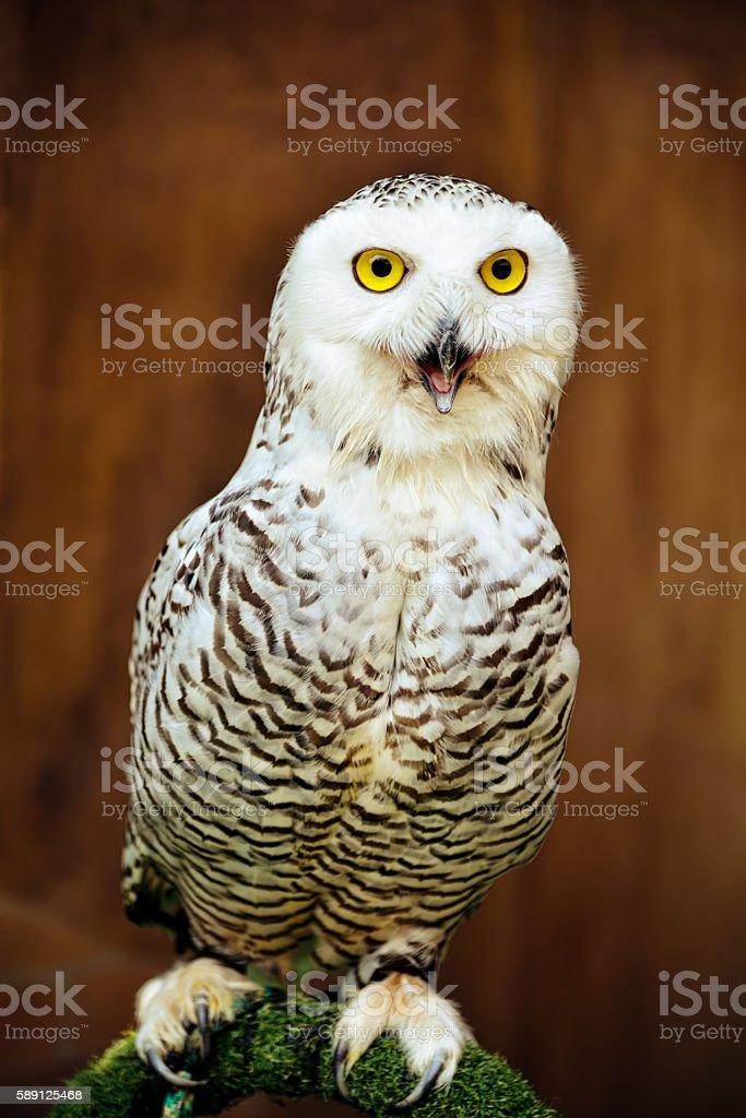 Snowy Owl - Bubo scandiacus : Closeup stock photo
