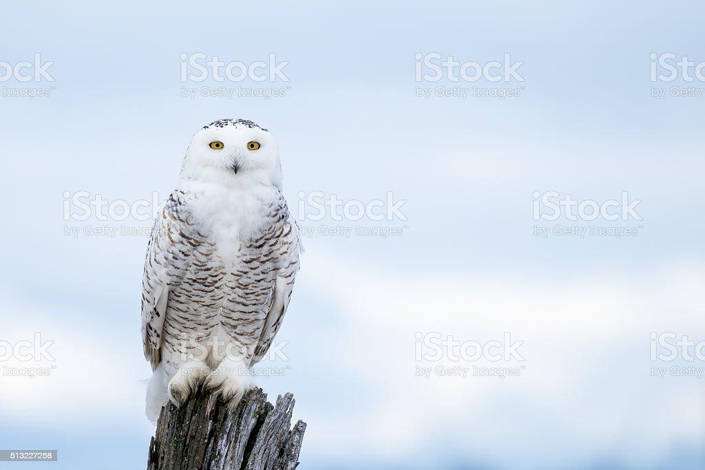 Snowy Owl, Bubo Scandiacus stock photo
