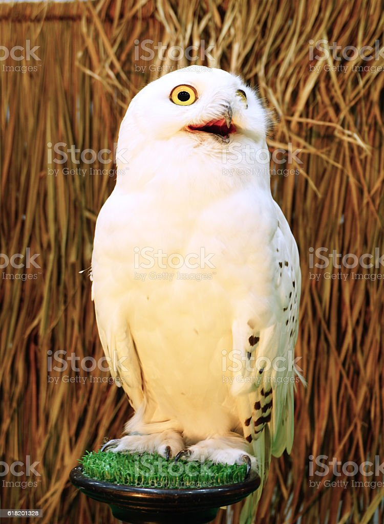 Snowy Owl - Bubo scandiacus stock photo