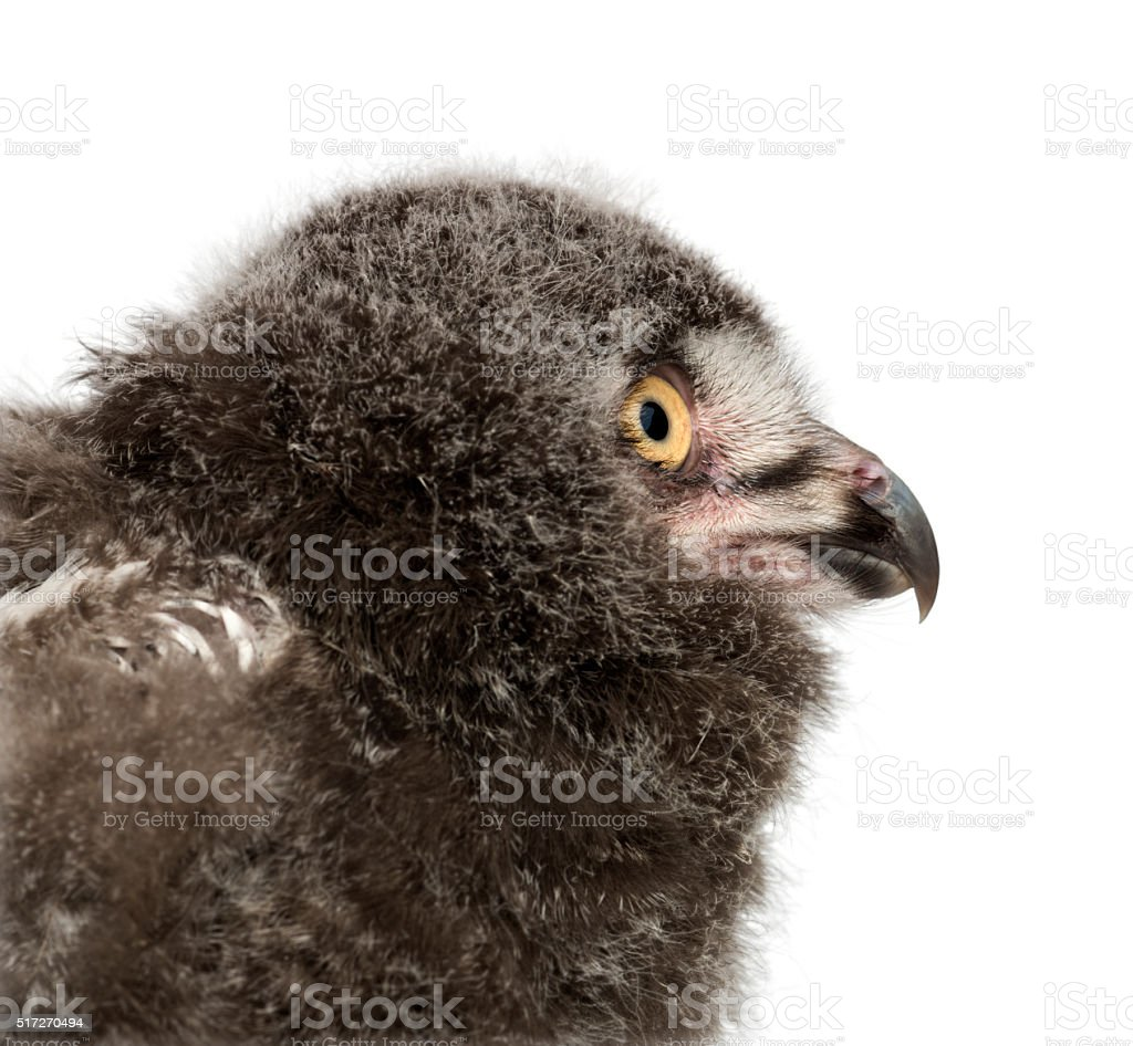 Snowy Owl chick, Bubo scandiacus, 31 days old stock photo