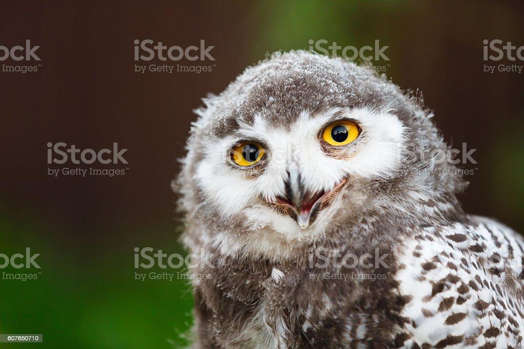 Snowy owl chick stock photo