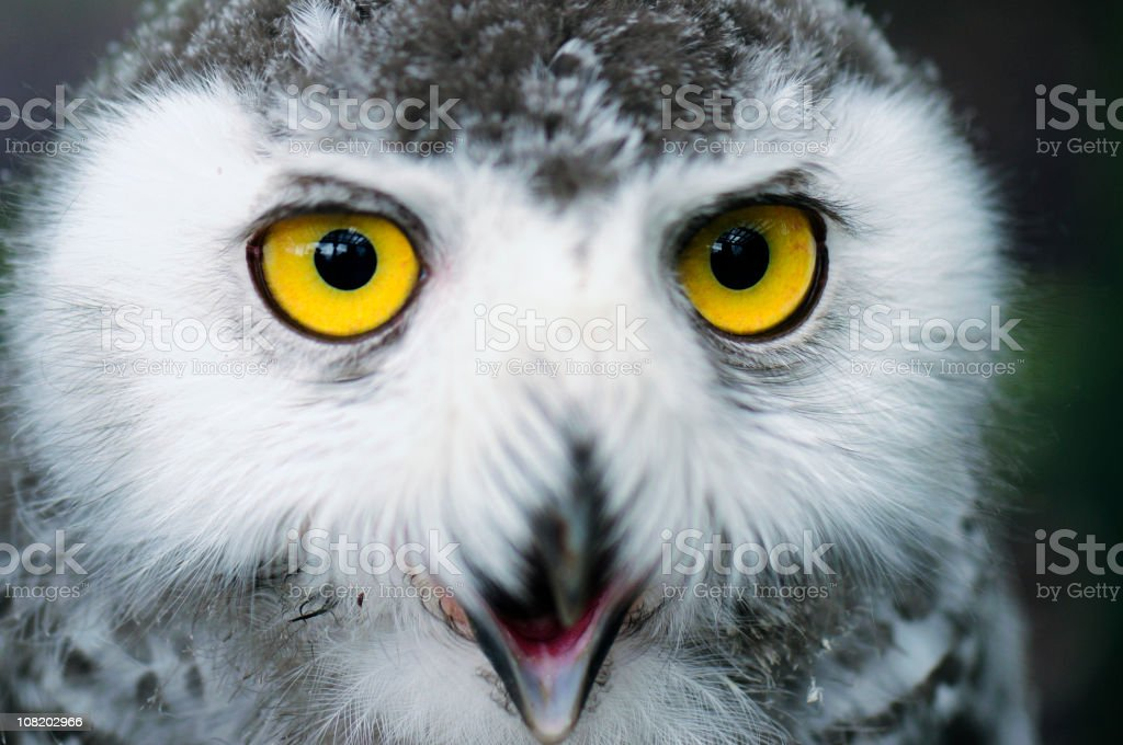 Snowy Owl Close Up royalty-free stock photo