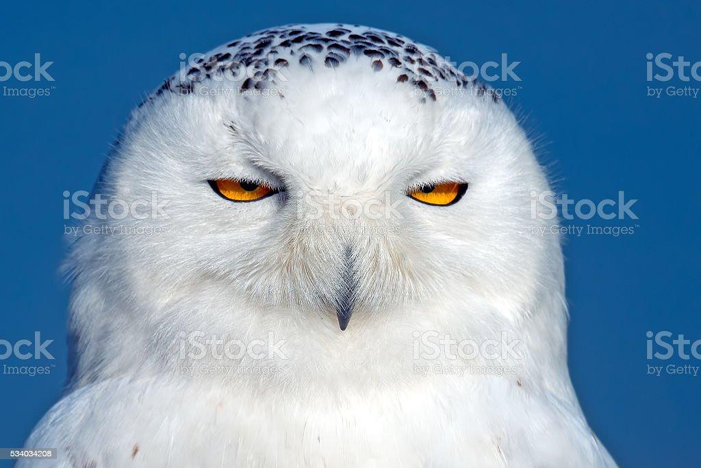 Snowy Owl Close-up stock photo