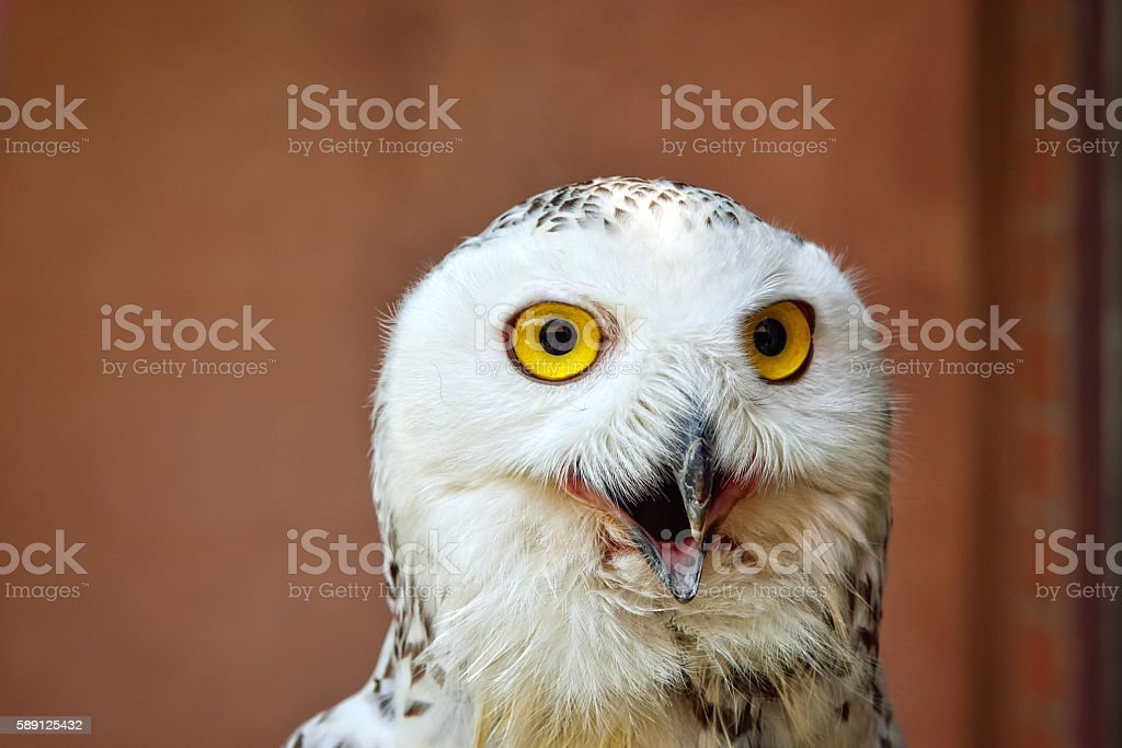 Snowy Owl : Closeup stock photo