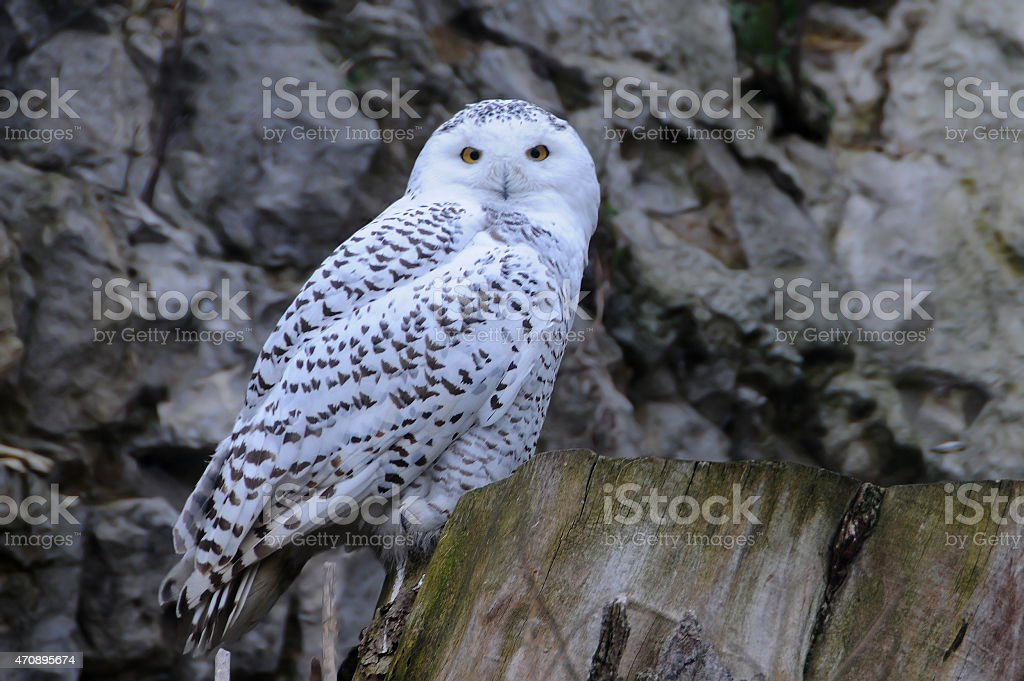 Snowy Owl During Twilight Hour stock photo
