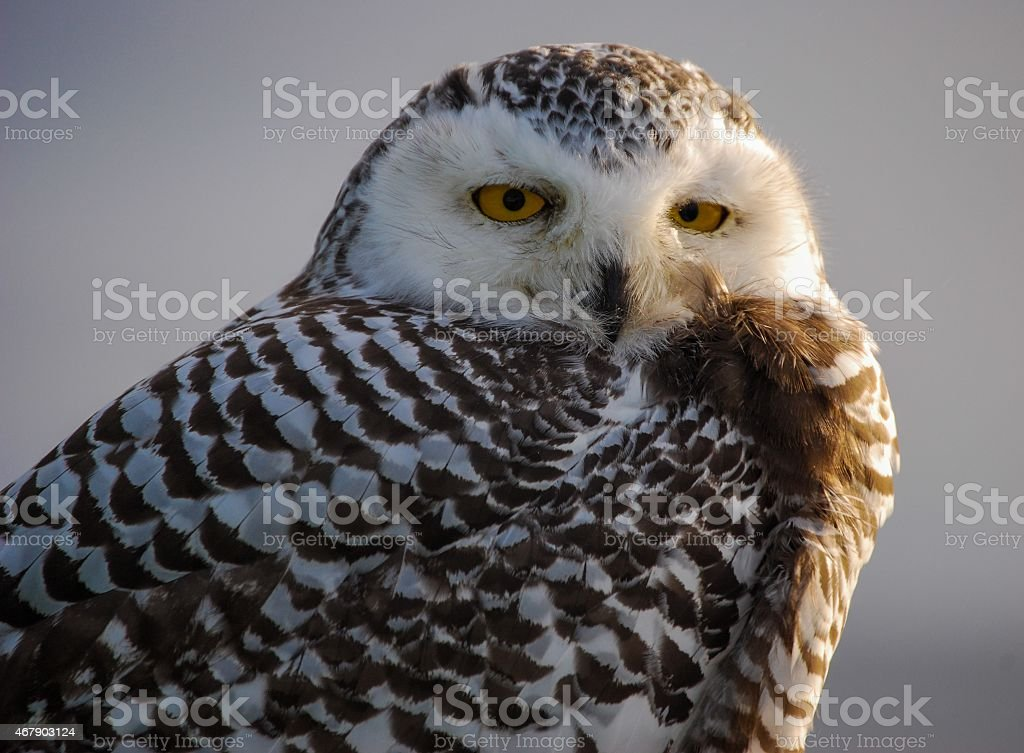 Snowy Owl Face stock photo