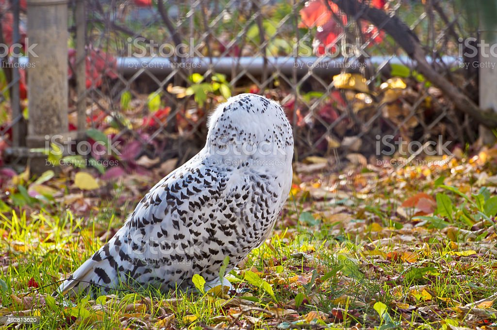 Snowy Owl from Behind stock photo