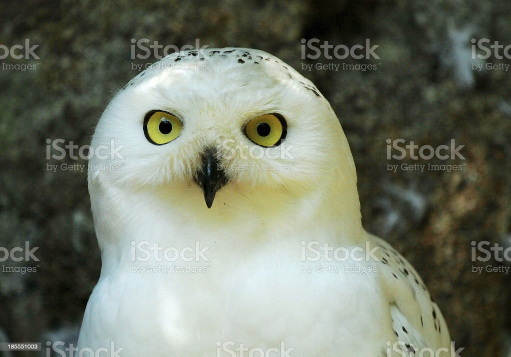 Snowy Owl Harfang stock photo