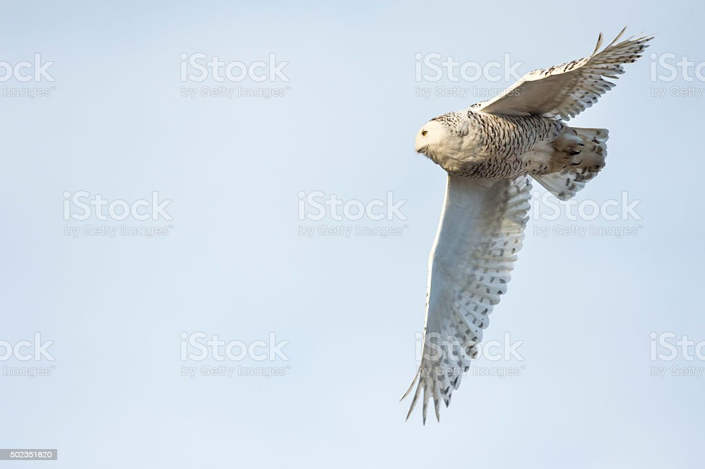 Snowy Owl in flight, Bubo scandiacus, Bird in Canada stock photo