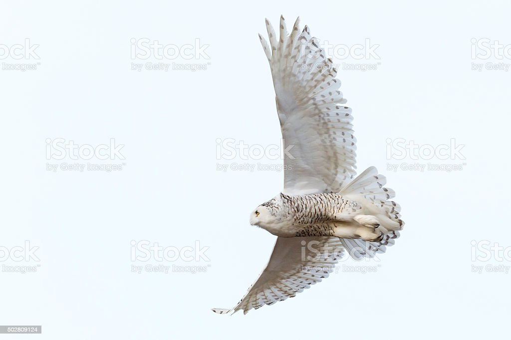 Snowy Owl in flight, Bubo scandiacus, Bird in Canada stock photo