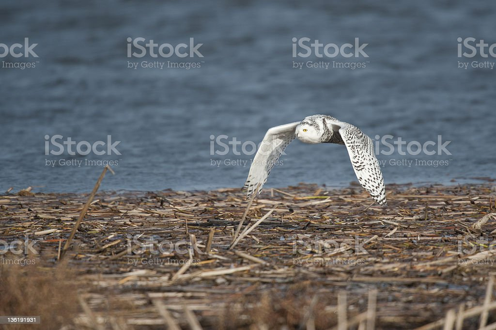 Snowy Owl in flight royalty-free stock photo