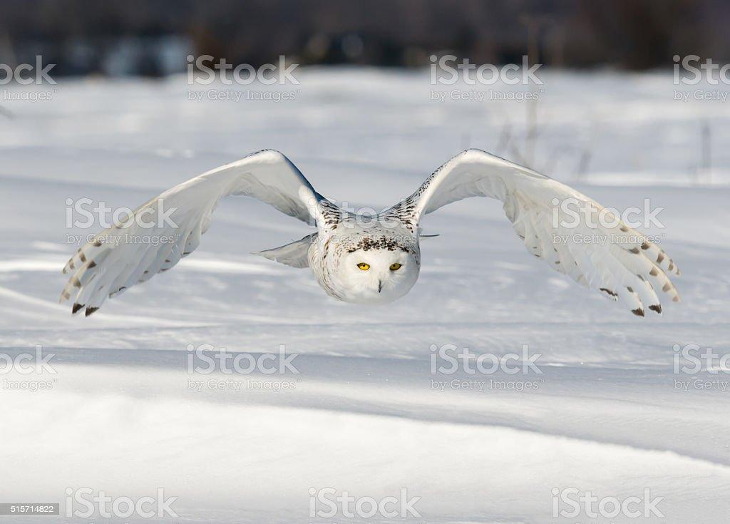 Snowy Owl in Flight stock photo