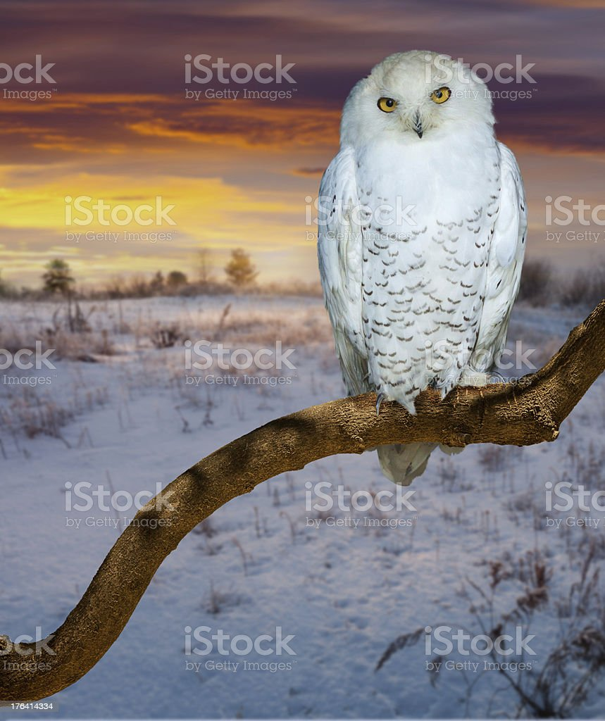 snowy owl  in sunrise tim royalty-free stock photo