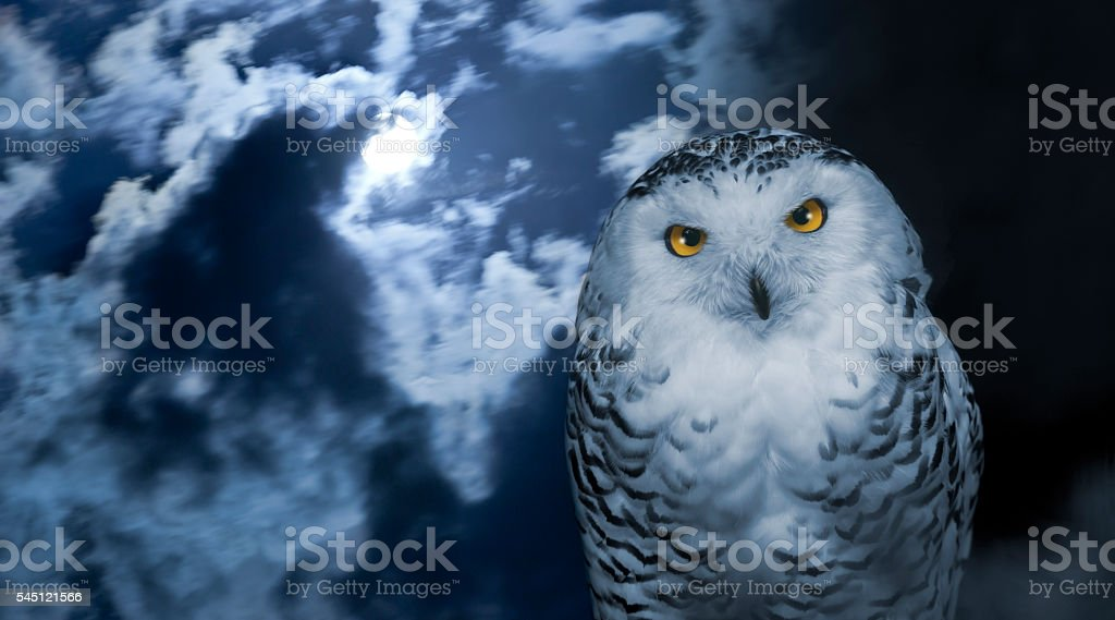 Snowy owl isolated on black at night stock photo