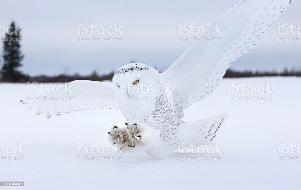 Snowy owl landing in Northern Minnesota. stock photo